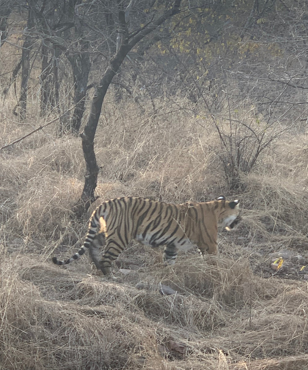 Arrowhead tiger at ranthambore copy