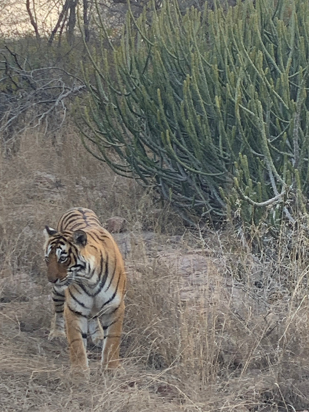 Tiger cub at Ranthambhore