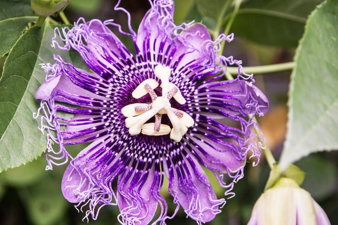 Passionflower for Sleep