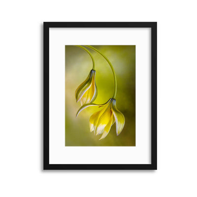 Tulipa by Mandy Disher Framed Print - UH
