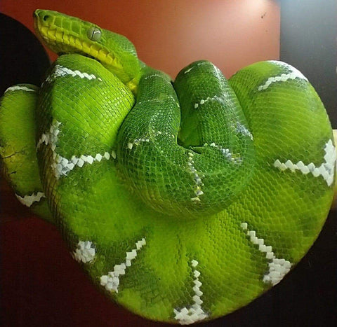 Emerald Tree Boa Kit cover