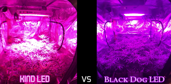 Kind LED vs Black Dog LED