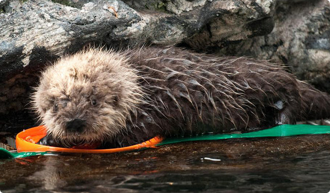 Baby Northern Sea Otter with the Zisc dog toy