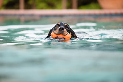 Dog Swimming with Dog Toy
