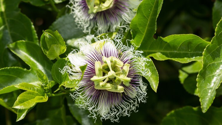 Passion flower with fruit