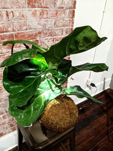 Fiddle Leaf Fig Kokedama (large)