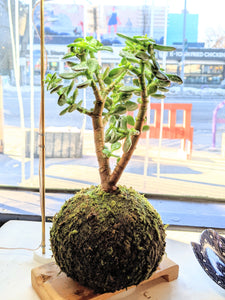 Jade Kokedama (medium)