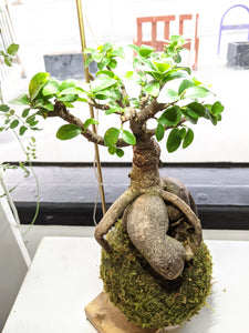 Ficus Microcarpa (styled, bonsai inspired, medium)