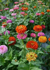 Zinnia 'Benary's Giant Mix'
