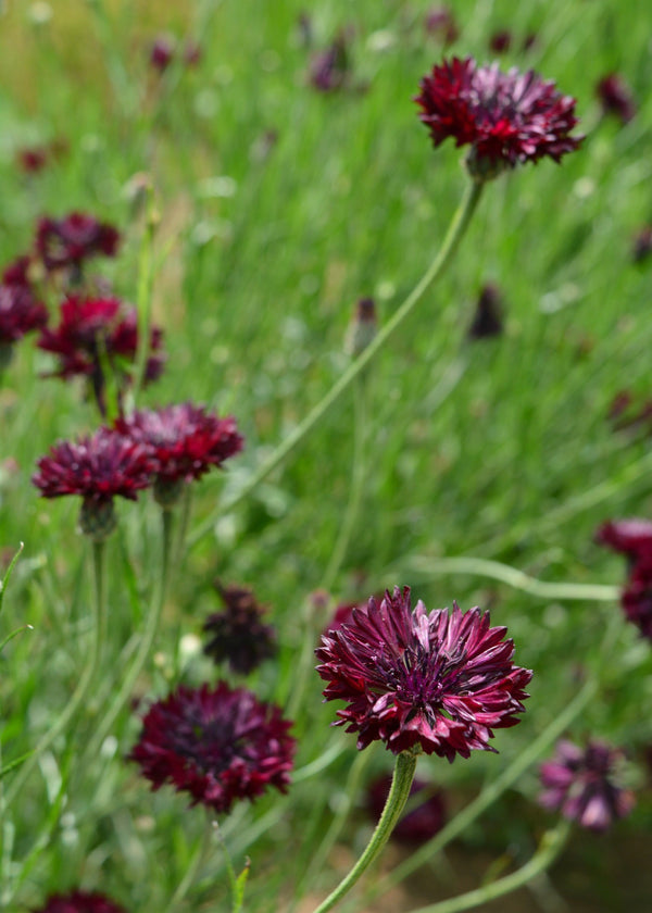 Bachelor's Button 'Black Ball'