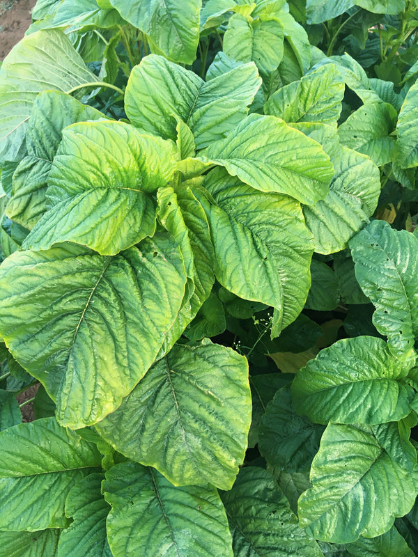 Amaranth/Callaloo 'Suriname'