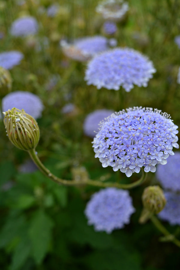 Didiscus 'Blue Lace Flower'