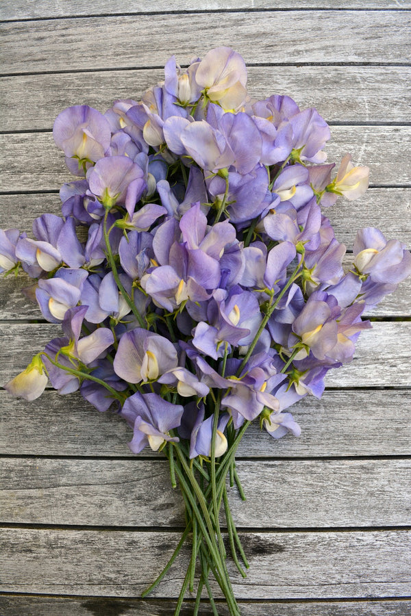 Sweet Pea 'Kingfisher'