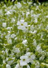 Saponaria 'White Beauty'