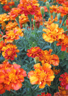 Marigold 'French Brocade'