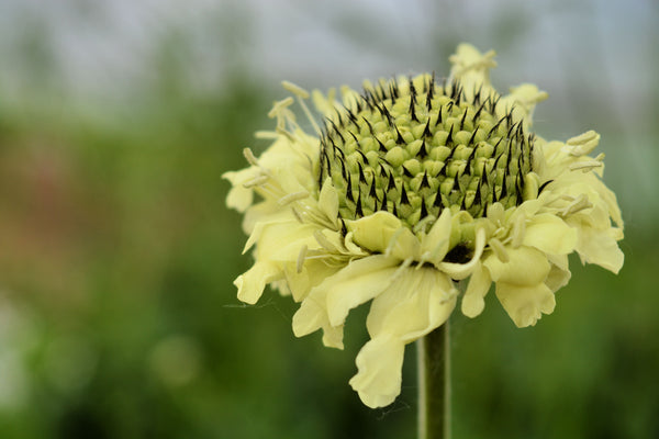 Scabiosa 'Giant Yellow'