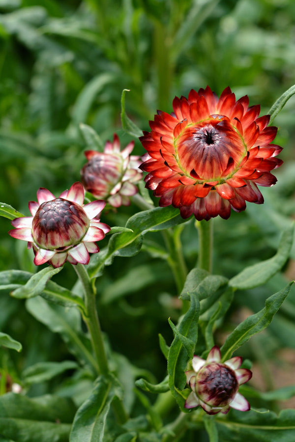 Strawflower 'Monstrosum Fireball'