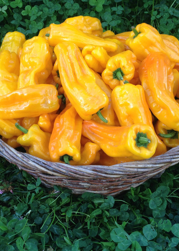 Sweet Pepper, 'Petit Marseillais'