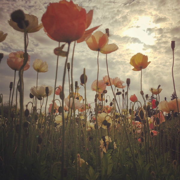 Poppy, Iceland 'Pastel Meadows'