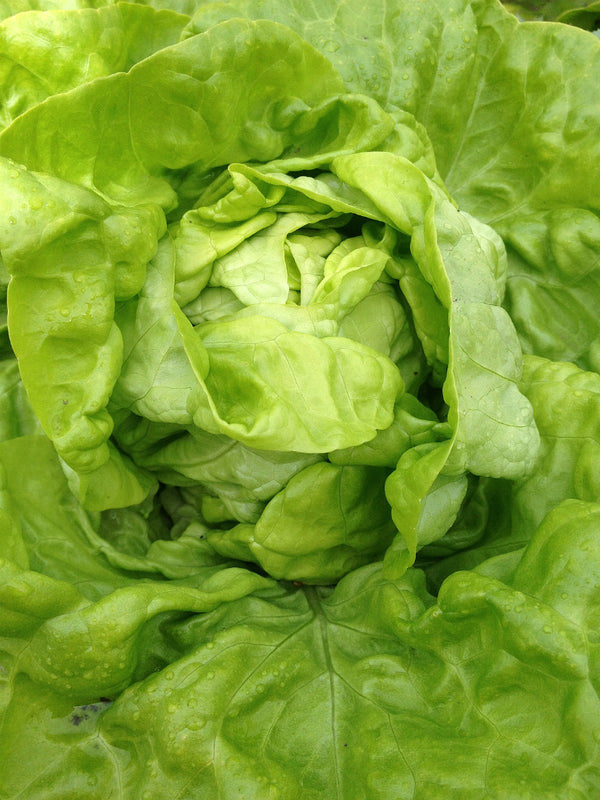 Lettuce 'Tennis Ball'