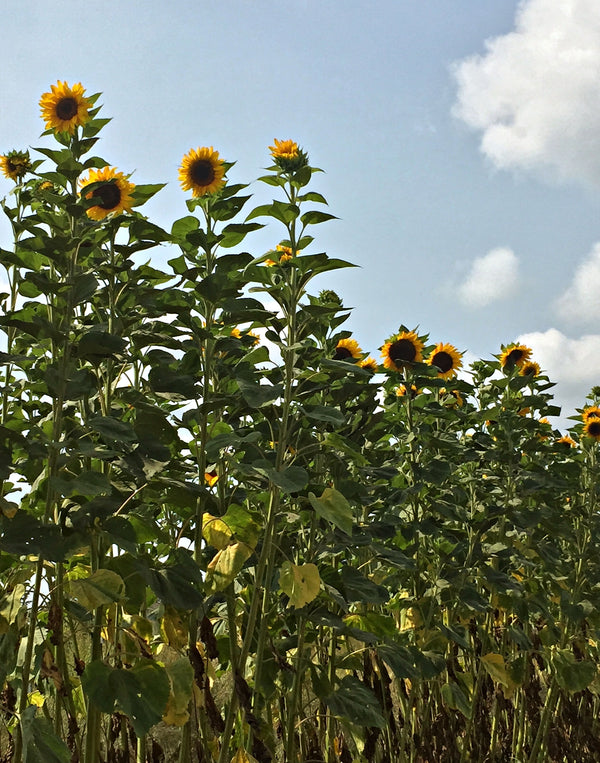 Sunflower 'Transylvanian Giant'