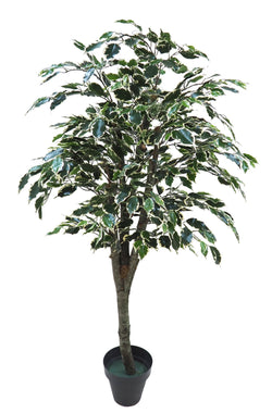 Ficus Indoor Floor Plant