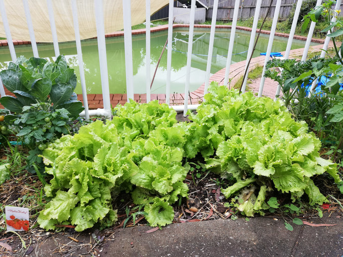 Grow your own lettuce - Its so easy