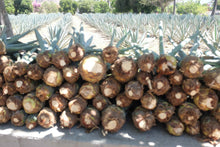 Load image into Gallery viewer, Tequila Fortaleza Blanco baby agaves, they sort them in size as limon, naranja & toronja according to size