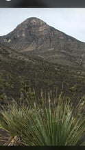 Load image into Gallery viewer, La Higuera Sotol Cedrosanum in the wild