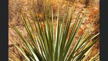 Load image into Gallery viewer, Sotol La Higuera Wheeleri plant in the wild
