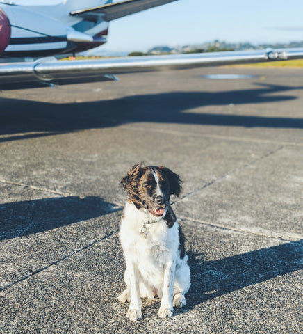 How-to-travel-with-dogs