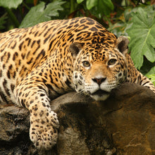 Load image into Gallery viewer, Help Save the Jaguar