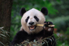 Load image into Gallery viewer, Help Save the Giant Panda with Project Peril