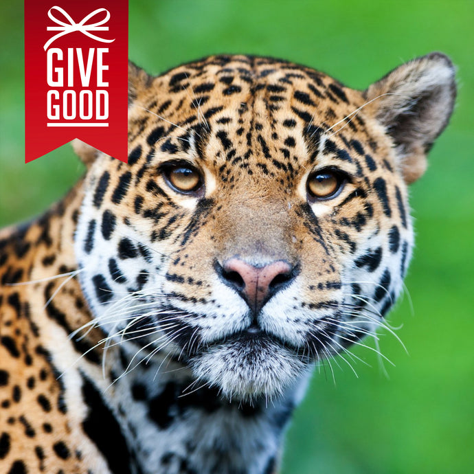Help Save the Jaguar