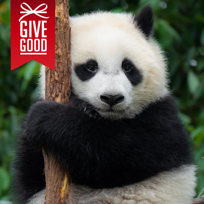 Help Save the Giant Panda with Project Peril