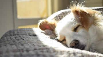 Keeping Your Dog (and Yourself) Safe from COVID-19