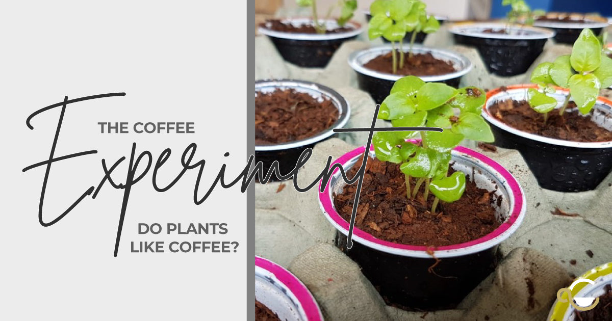 The coffee experiment: growing barley seeds in coffee capsules Thumbnail