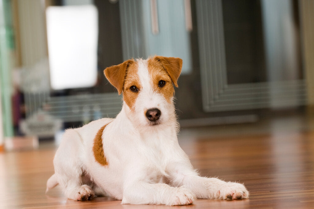 Best Apartment Dogs For Small Homes