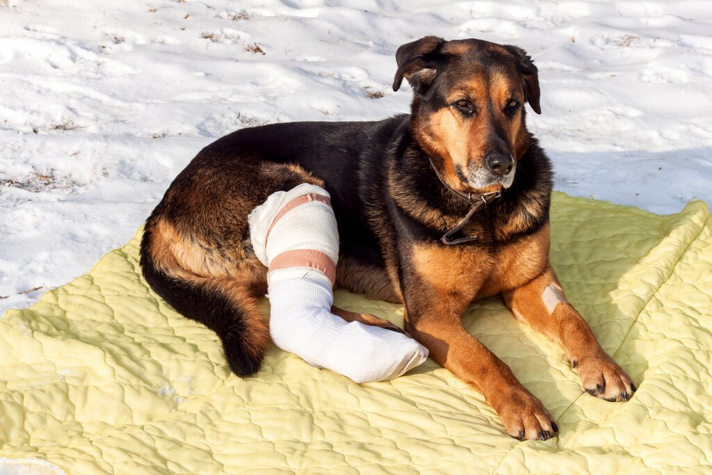 Dog: Torn ACL. Home Treatment for You to Use