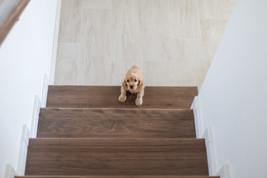 Help Dogs Who Can't Figure Out Stairs: Tips to Help Them Up