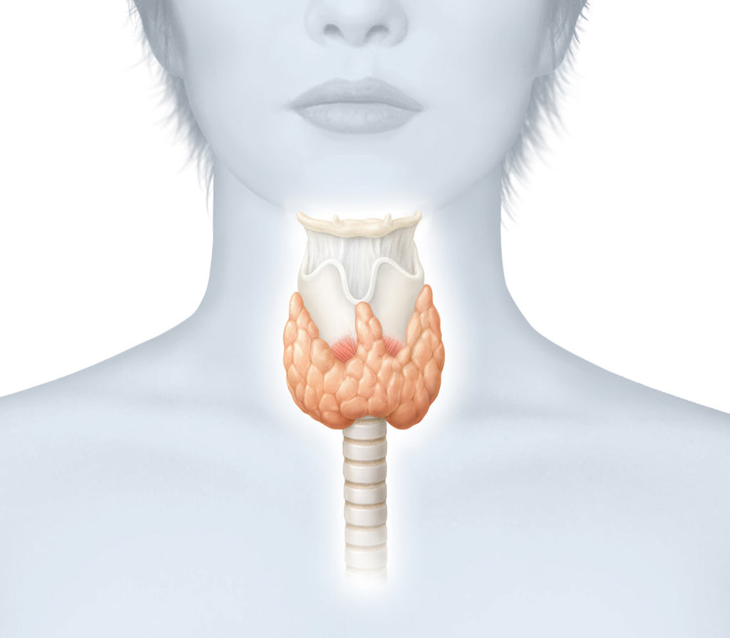 How the thyroid effects your weight correction