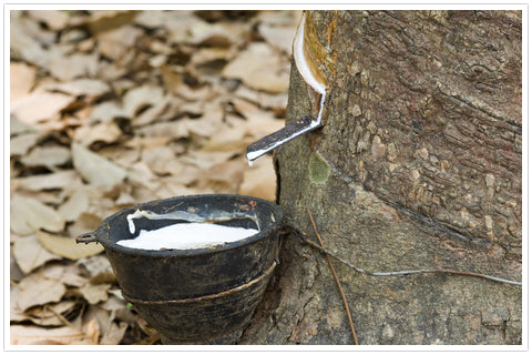 retrieving latex sap from tree