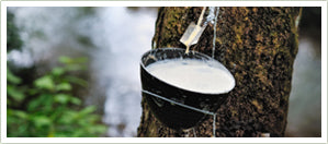 tapping rubber tree for latex sap