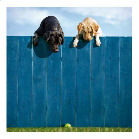 Labradors On The Fence Greeting Card