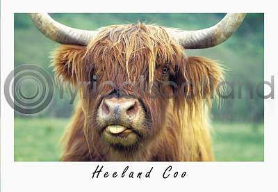 Highland Cow Postcard Greeting Card