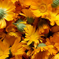 Calendula Featured Ingredient - L'Occitane