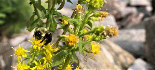 A close up photograph of a bumble bee on yellow flowers. Outside of the workshop in Haliburton, Ontario.