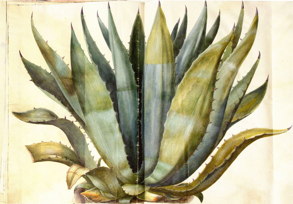 About Agave Nectar