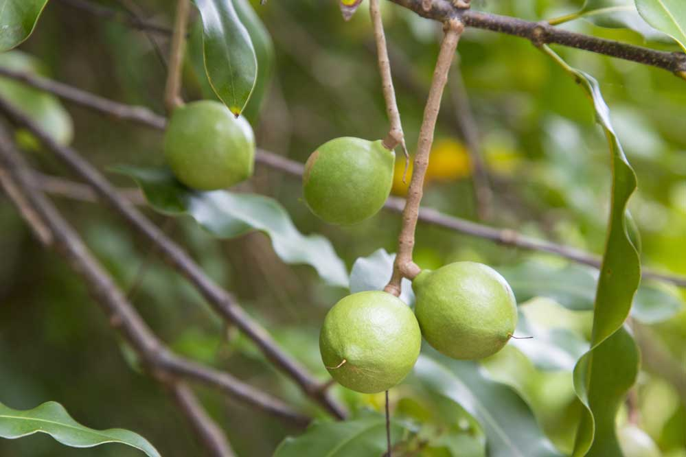 Everything You Ever Wanted to Know about Macadamia Nuts
