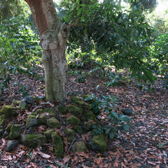 photo of a macadamia nut tree mulched with rocks